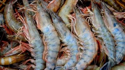 Termina veda y se permite aprovechamiento del camarón en los litorales del Golfo de México-Mar Caribe a partir del 26 de agosto