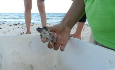 19 nidos de tortuga golfina rescatados en Tonalá, Chiapas