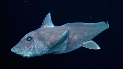 Publican por primera vez registro del avistamiento de un tiburón fantasma (Vídeo)