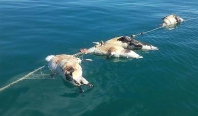 Asfixiados en redes de pesca, mueren 22 lobos marinos y dos tiburones gata  en el Alto Golfo de California