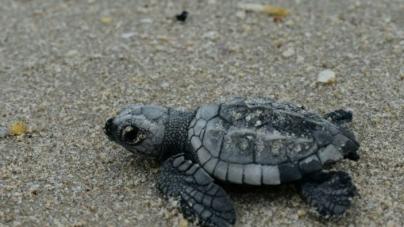 Nacen más de 103,000 crías de tortuga lora (Lepidochelys kempii) en campamentos tortugueros de la CONANP en Tamaulipas