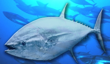 Tres mil toneladas al año, cuota de captura de atún aleta azul (Thunnus orientalis)  para las temporadas 2017 y 2018