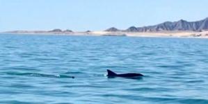 Avistan dos hembra y cría de vaquita marina (Phocoena sinus) cerca de la Reserva de la Biosfera del Alto Golfo de California