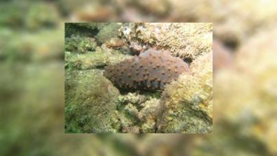 El maricultivo es la única solución para detener la extinción de pepino de mar (Isostichopus fuscus) en Golfo de California