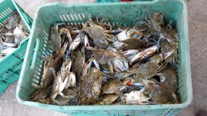Para conservarla, evalúa México la pesquería de jaiba en el sur de Campeche y Tabasco