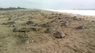 Oaxaca: Arribo récord de 2 millones de tortugas golfina (Lepidochelys olivacea) en santuario de Escobilla y Morro Ayuta