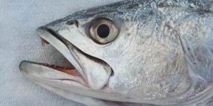 Establecen cuota de captura para la curvina golfina (Cynoscion othonopterus) y atún aleta azul (Thunnus orientalis) en 2018