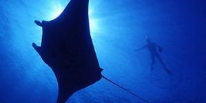 La observación de la manta gigante (Mobula birostris) es un lucrativo negocio turístico