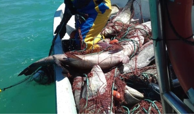 Descubren 32 totoabas (Totoaba macdonaldi) en peligro de extinción, enmalladas y muertas, en un pesquero de San Felipe, BC