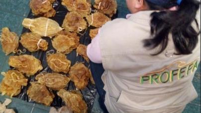 Vinculado a proceso el ciudadano chino detenido en aeropuerto con buches del pez totoaba (Totoaba macdonaldi)