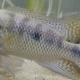 El exótico pez convicto (Amatitlania nigrofasciata), desplaza y pone en riesgo de extinción a mojarra mexicana (Cichlasoma istlanum)