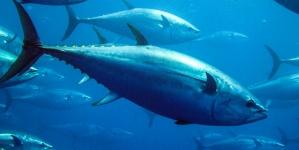 La pesquería industrial mexicana de atún, es una pesca sustentable de clase mundial: Gobierno de México