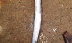 La cintilla (Trichiurus lepturus) es una especie de valor comercial para comunidades pesqueras de Veracruz