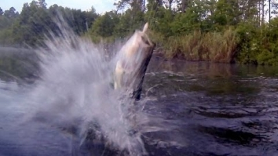 Video: Grandes lobinas atrapando señuelos