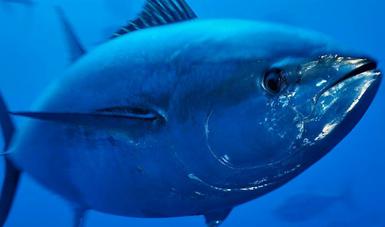 Cierra temporada de captura de atún aleta azul (Thunnus orientalis) con sobrepesca de 483 toneladas y muerte de delfines