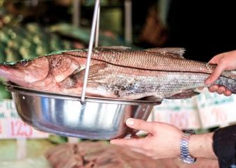 El robalo (Centropomus sp) es una especie de pez de gran importancia para la pesca de captura y acuacultura