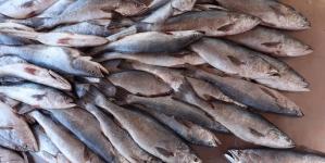 EUA publica el Registro Federal de Aviso de Comparabilidad que permite exportación de pesquerías mexicanas del Alto Golfo de California