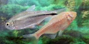 Un pez mexicano ciego y albino, clave para la investigación sobre enfermedades cardiovasculares Jon Martin Cullell