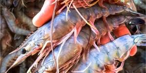 Inicia el 15 de marzo la veda del camarón blanco, azul y café en el litoral del océano Pacífico