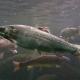La trucha arcoirís (Oncorhynchus mykiss) debe considerarse un salmón y cambiar de nombre para incentivar su consumo