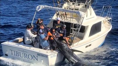 Gigantesco marlín azul (Makaira nigricans) de 370 kg, es capturado cerca de Cabo San Lucas en el Pacífico mexicano