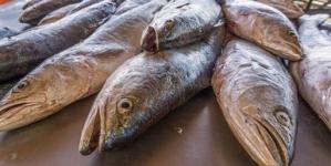 Anuncian volumen de captura de curvina golfina en el Alto Golfo de California