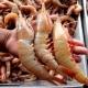 Entra veda temporal de todas las especies de camarón para 2019 en el Golfo de México y el Caribe