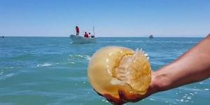 Crece la pesquería de la medusa bola de cañón en el Alto Golfo de California donde genera 300 mdp y 5 mil empleos