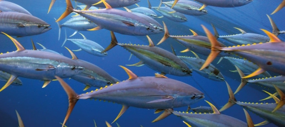 Patrones espaciales del atún aleta amarilla en el Océano Pacífico Oriental: una exploración de perfiles de concentración