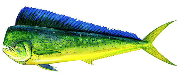 No hay evidencias científicas para liberar la pesca comercial de dorado (Coryphaena hippurus), en México