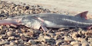 La primera especie extinguida de 2020: un pez de hasta siete metros de largo
