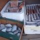 Aseguran 624 ejemplares de almeja pismo (Tivela stultorum), capturadas ilegalmente; hay un detenido en Ensenada