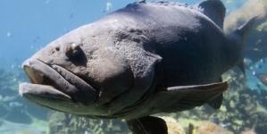 Veda a la pesca de todas las especies de mero en el Golfo de México