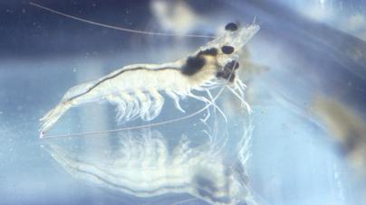 Programa piloto de captura de camarón en el Sistema Lagunar Huizache-Caimanero, Sinaloa, duplica producción