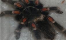 En especies de tarántulas, México, es el segundo lugar en diversidad en el mundo; Brachypelma, género destacado