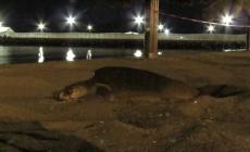 Protegen desove de una tortuga golfina (Lepidochelys olivacea) en Loreto, en el Mar de Cortés