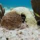 Alarma en el Caribe mexicano: afectada barrera de coral por la enfermedad denominada síndrome blanco
