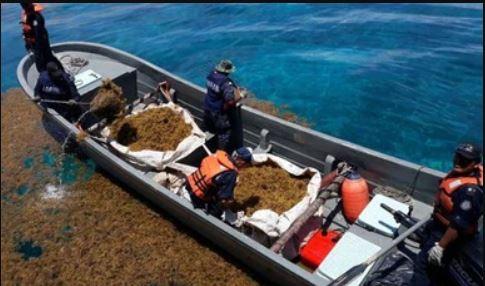 Efectivos de la Marina de México, recolectan 5.6 toneladas de sargazo en los últimos dos meses