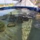 Consolidan proyecto de reproducción sexual en cautiverio de corales para rescate de arrecifes en litorales de Quintana Roo
