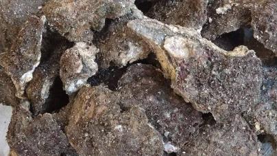 Hoy se abre temporada de pesca de ostión de piedra (Crassostrea iridescens), en el litoral del océano Pacífico, excepto en Guerrero