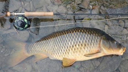 Pesca de carpas, con mosca