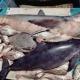 Vigente Acuerdo que regula la pesca en zonas marinas del Golfo de California, para controlar pesca ilegal y proteger vaquita marina