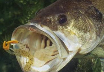 Eligiendo el color de señuelos de plástico suave para pesca de black bass