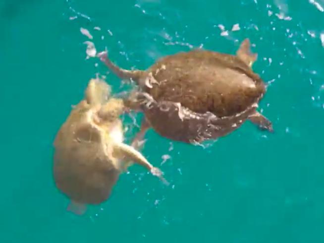 Avistan cuatro tortugas verdes (Chelonia mydas) en el polígono de Isla Mujeres; la Conanp usa drones para monitoreo