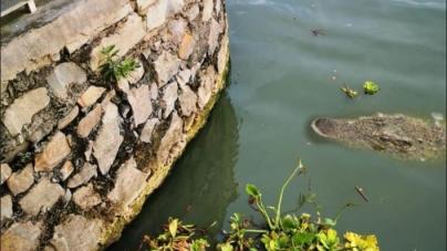 ¡Cuidado pescadores! En alerta autoridades, por avistamientos de cocodrilos (Crocodylus acutus) en lago de Chapala